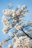 Цветки дерева на голубом небе Стоковые Изображения RF