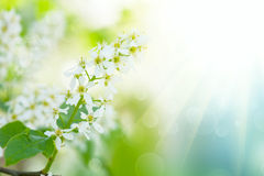 цветки дерева Птиц-вишни Стоковое фото RF