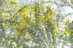 Цветки дерева серебряного wattle Квинсленда Стоковое Изображение