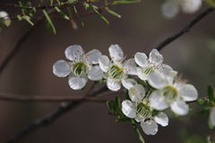 Цветки дерева чая белые Стоковые Фотографии RF
