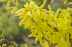 Цветки дерева Forsythia Стоковые Изображения RF