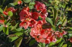 Цветки дерева Japonica Стоковое Фото