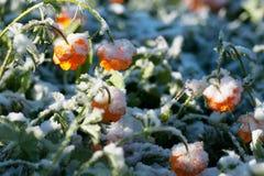 Цветки лета в снеге стоковые фотографии rf
