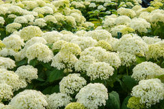 Цветки лета шариков Annabelle arborescens гортензии белые Стоковые Изображения