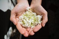 Цветки жасмина в руках Жасмин Азорских островов Стоковая Фотография