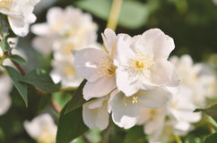 Цветки жасмина в саде Стоковые Фото