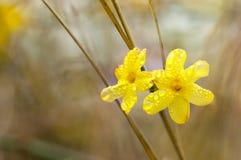 Цветки жасмина зимы Стоковое Изображение RF