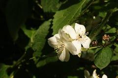 Цветки жасмина на ветви Стоковые Изображения RF