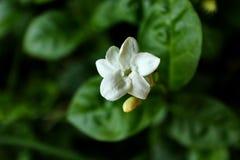 Цветки жасмина на фото с темной предпосылкой стоковое фото rf