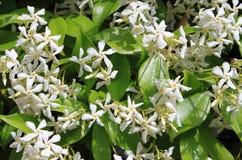 Цветки жасмина стоковое изображение