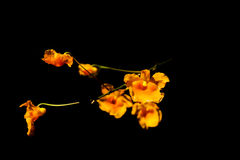 Цветки желтеют черноту предпосылки в на Сурате Таиланде Стоковое фото RF