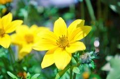 Цветки желтого цвета Стоковые Фото