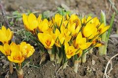 Цветки Желтые крокусы Первые цветки E стоковое фото rf