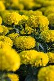 Цветки желтого цвета - желтый цвет предпосылки Стоковые Фотографии RF