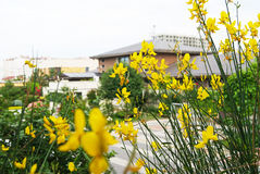Цветки желтого цвета испанского веника в саде Стоковые Изображения RF