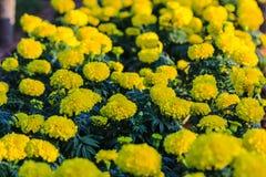 Цветки желтого цвета - предпосылка Стоковые Фото