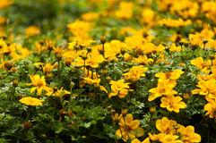 Цветки желтого цвета Стоковые Изображения