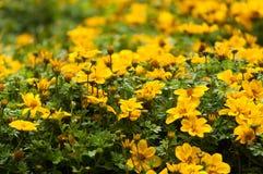 Цветки желтого цвета Стоковые Фотографии RF