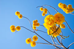 Цветки желтого цвета chrysotricha Tabebuia стоковая фотография