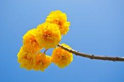 Цветки желтого цвета chrysotricha Tabebuia стоковое изображение rf