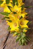Цветки желтого цвета punctata Lysimachia закрывают вверх по вертикали Стоковое фото RF