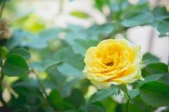Цветки желтых роз в саде Стоковые Фотографии RF