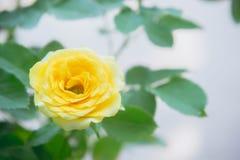 Цветки желтых роз в саде Стоковые Изображения