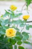 Цветки желтых роз в саде Стоковая Фотография RF