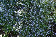 цветки забывают меня не Стоковое Изображение