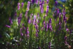 цветки забывают меня не Стоковые Изображения RF