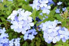 цветки забывают меня не Стоковые Фото