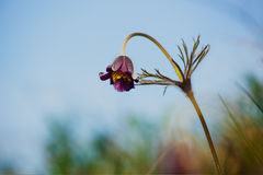 Цветки завода patens Pulsatilla в поле Стоковое Изображение RF