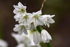 Цветки 3 загонянного в угол лук-порея - лукабатуна Triquetrum стоковые фото