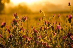 Цветки заклятья Paterson Стоковая Фотография