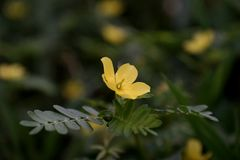 Цветки засорителя в поле; цветки желтого цвета Стоковые Фото
