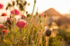Цветки засорителя захода солнца Стоковые Фотографии RF