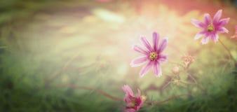 Цветки захода солнца на предпосылке природы, знамени Стоковое Фото