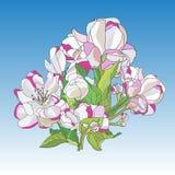 Цветки зацветая иллюстрации вектора яблони иллюстрация вектора