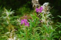 Цветки зацветая Салли с Стоковое Фото