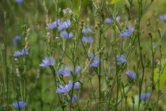 Цветки зацветая цикория Стоковые Фото