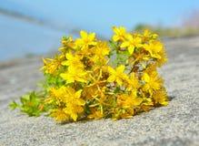 Цветки зверобоя Стоковое фото RF