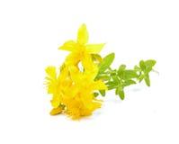 Цветки зверобоя Стоковые Изображения RF