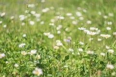 Цветки зеленой травы и стоцвета в природе, луге цветков, скачут флористический ландшафт Стоковые Изображения RF
