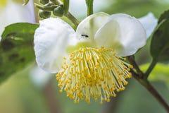 Цветки зеленого чая стоковое изображение rf