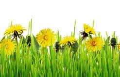 Цветки зеленой травы и одуванчика Стоковые Фотографии RF