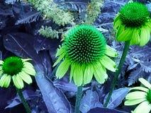 Цветки, зеленый цвет, маргаритка, конец-вверх, северное Колорадо Стоковое Фото