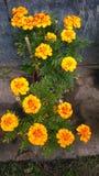 Цветки золота Meri Стоковые Фото