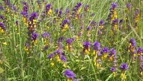 Цветки Иван da Marya в поле пошатывая в ветре сток-видео