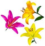 цветки изолировали лилию карточка предпосылки цветет сеть универсалии шаблона страницы лилии приветствию цветки лилии изолированн Стоковая Фотография RF