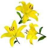 цветки изолировали лилию цветки лилии изолированные на wh Стоковая Фотография